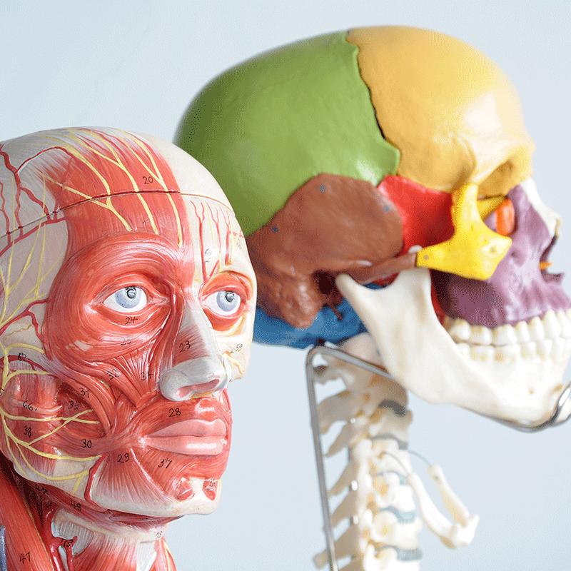 Tečaj anatomije mišic in sklepov